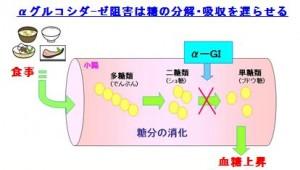 α-グルコシダーゼ阻害は血糖を下げる