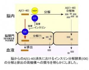 インスリン分解酵素とアルツハイマー病