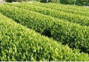 緑茶は糖尿病を防ぐ