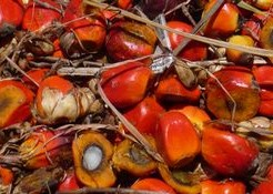 パーム油は癌や糖尿病の原因