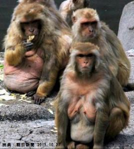 メタボ猿は糖尿病のリスクが大きい