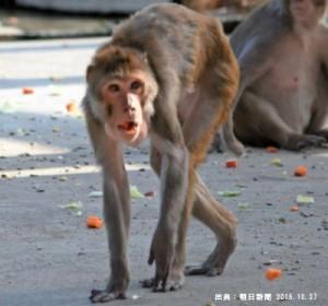 メタボだった猿が糖尿病末期に