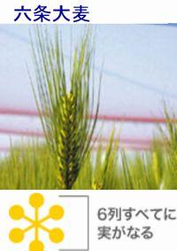 麦飯は血糖値を下げるので糖尿病に良い食べ物です