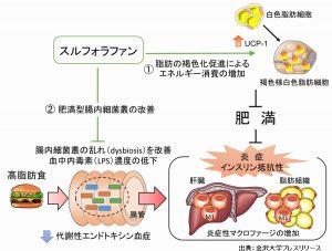 ブロッコリープラウストのスルフォラファンは肥満や糖尿病に良い食べ物